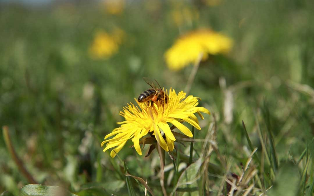 Filberts-of-Dorset--BLOG-Dandelion_Love