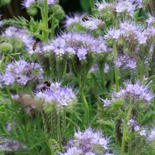 Filberts-of-Dorset-Phacelia_Flowers