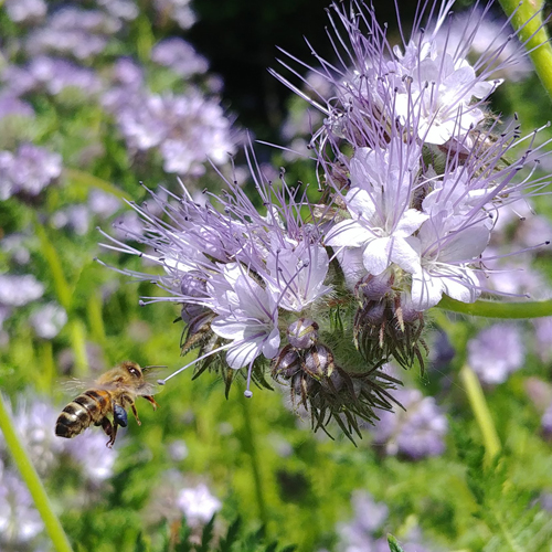 Honeybee on phacelia