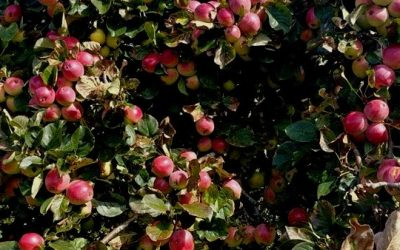 Surviving Apple Harvest