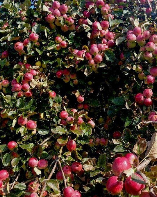 Surviving Apple Harvest