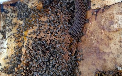 Removing a Honey Bee Colony