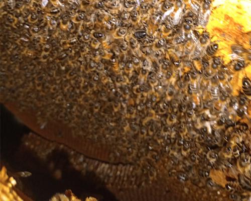 Honey bee colony in wall cavity